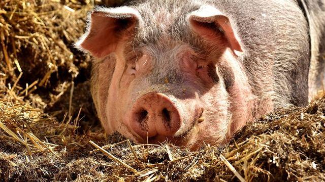 In Brot und Backwaren könnten Bestandteile aus Schweineborsten verarbeitet sein, behauptet die Berliner Morgenpost in einem aktuellen Beitrag. (Quelle: Pixabay.com)