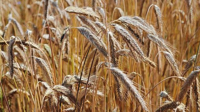 Die Erntemenge für Roggen schätzt der Verband auf Vorjahresniveau. (Quelle: Archiv/Kauffmann)