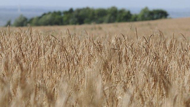 Das Urgetreide Dinkel wird in vielen regionen Deutschlands angebaut. (Quelle: Archiv/Kauffmann)