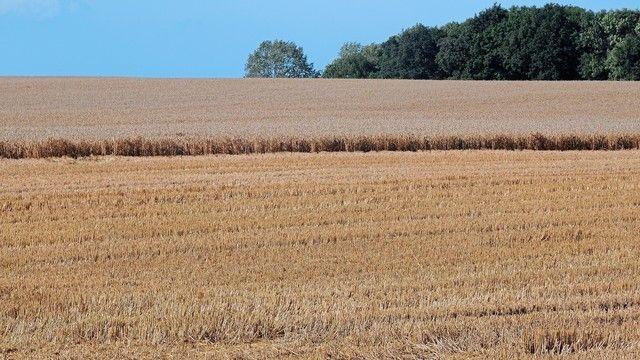 Die Getreideernte hat sich wegen extremer Wetterbedingungen über längere Zeit hingezogen. (Quelle: Archiv/Kauffmann)