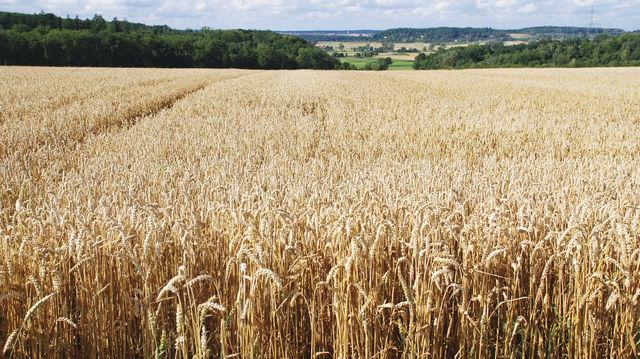 Weizen war von den Wetterbedingungen besonders betroffen. (Quelle: Archiv/Kauffmann)