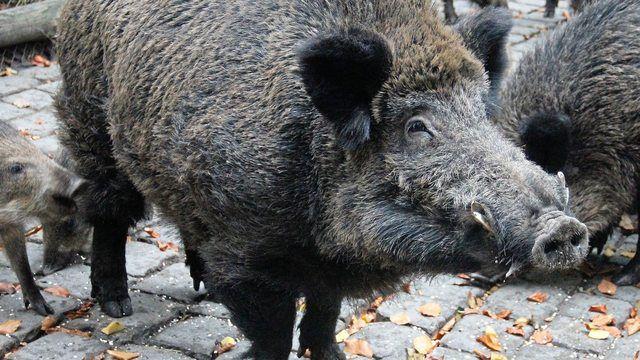 Wildschweine sind in Heide sehr gefährlich gewesen. (Quelle: Pixabay.com)