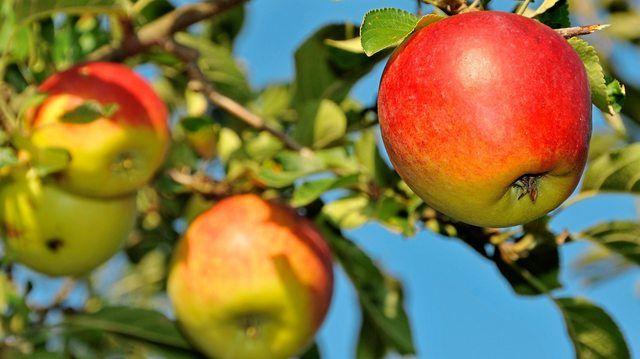 Keine Rekorde bei Äpfeln, aber auch hier sind die Bauern zufrieden. (Quelle: Dr. Klaus-Uwe Gerhardt/Pixelio.de)