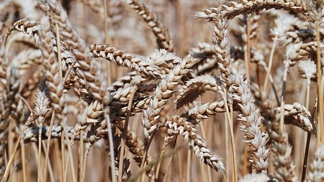 Die Kenntnis des Weizengenoms soll helfen, die Eigenschaften des Weizens gezielt zu verbessern. (Quelle: Archiv/Kauffmann)