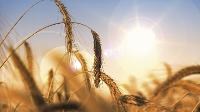 Sieht malerisch aus, war es aber nicht: Trockenheit und Hitze haben zu großen Ernteausfällen geführt. (Quelle: Fotolia/ bluedesign)