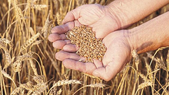 Forscher haben den Chromosomensatz von Weizen entschlüsselt. (Quelle: Shutterstock/AlexSun)