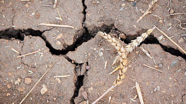 Ernteausfälle haben den Getreidepreis steigen lassen – für viele Bäcker ein Grund für Preiserhöhungen.  (Quelle: Archiv/Fotolia)