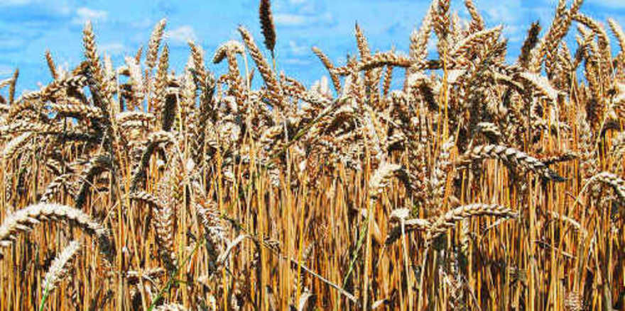 Die Weizenmenge liegt um 3,5Prozent unter dem Vorjahr, Roggen steigt jedoch um 10,8 Prozent.
