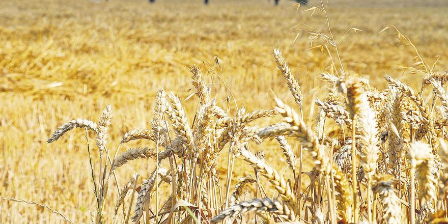 Die Getreideernte fiel regional sehr unterschiedlich aus: Ein Großteil der Weizenpartien im Norden hat wegen niedriger Fallzahlen nur noch Futterqualität.