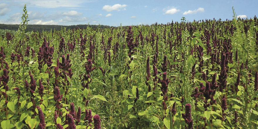 Fuchsschwanzgewächs Amaranth: Das Korn in der Bäckerei Stauss stammt von den Feldern des Josefshofs.