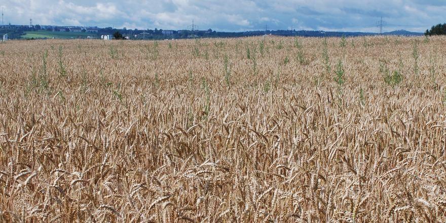 Zur Getreideernte tritt der Pflanzenschutzmittelwirkstoff Glyphosat wieder verstärkt in den Fokus. Foto Kauffmann