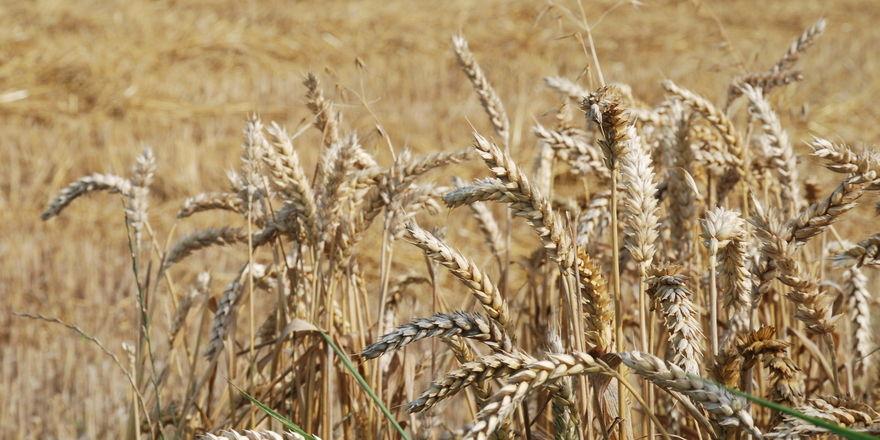 Bei Weizen und Roggen wird mit deutlich höheren Erträgen als im Vorjahr gerechnet.