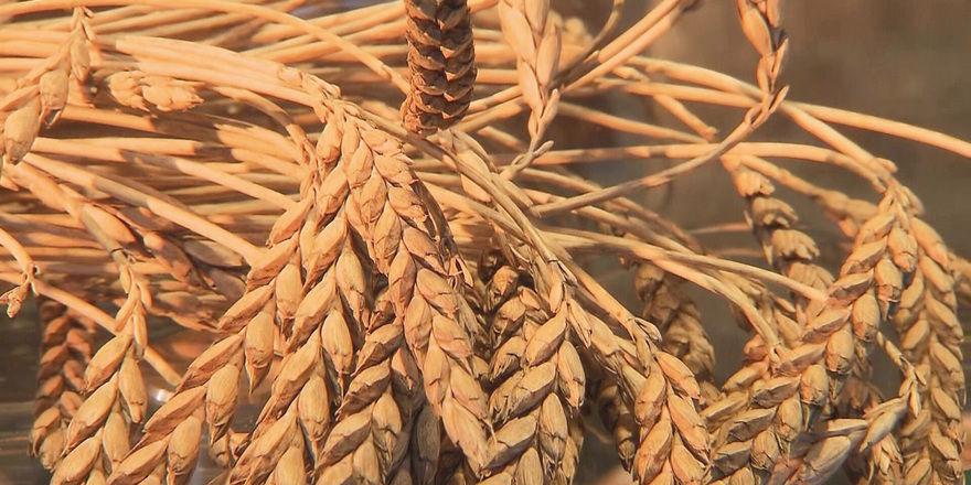 Wie beim neuertigen Roggen und Weizen sind auch die Mehle aus Dinkel etwas enzymärmer.