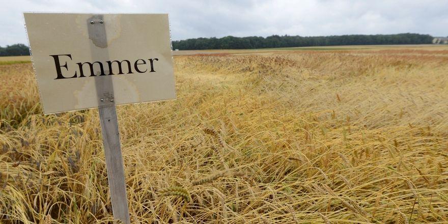 Emmer ist eine der Urgetreidesorten, die dem Bäcker neue Marktchancen eröffnen können.