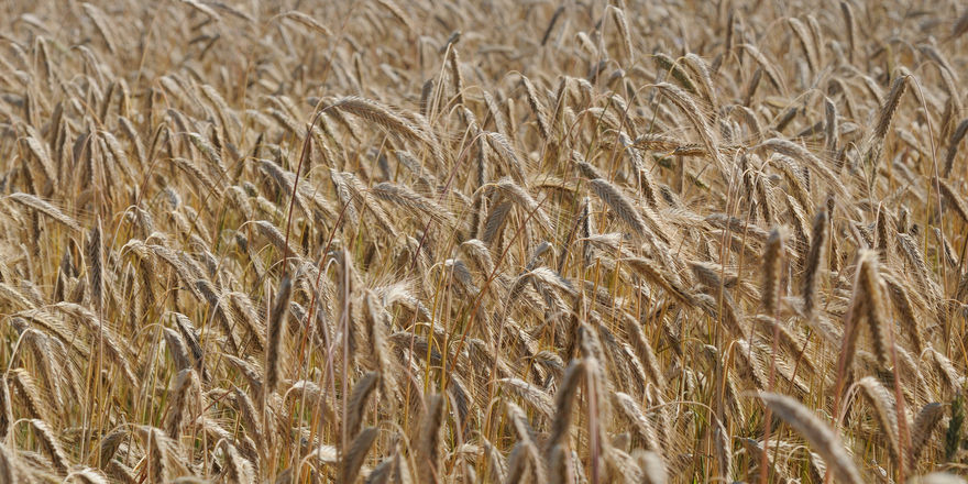 Der Deutsche Bauernverband rechnet mit einer insgesamt guten Getreideernte.