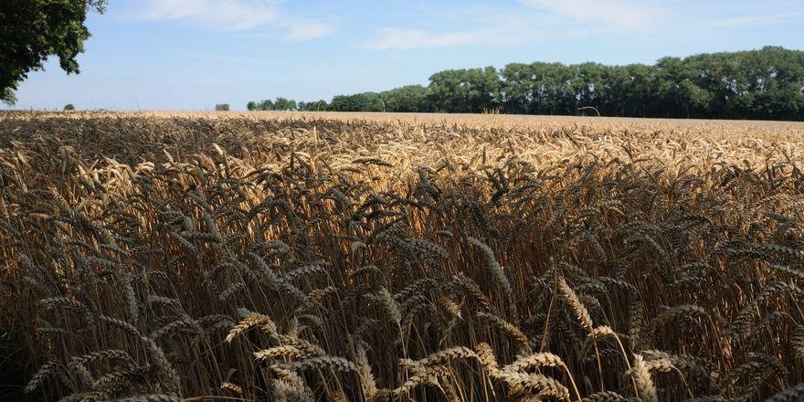 Das Weizen-Genom ist etwa fünf Mal so groß wie das menschliche Genom.