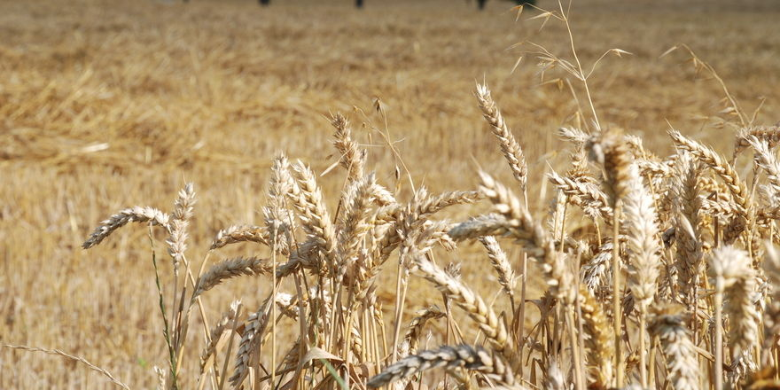 Das zur Erntezeit in Norddeutschland recht gute Wetter gleicht bei Menge und Qualität die schwierige Witterung im süden aus.