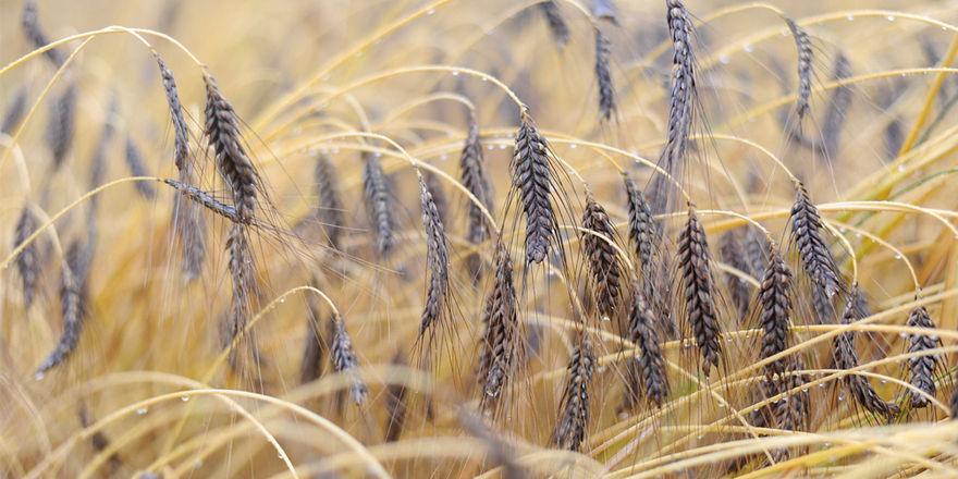 Emmer ist eine Urform des Weizens mit geringerem Proteingehalt.