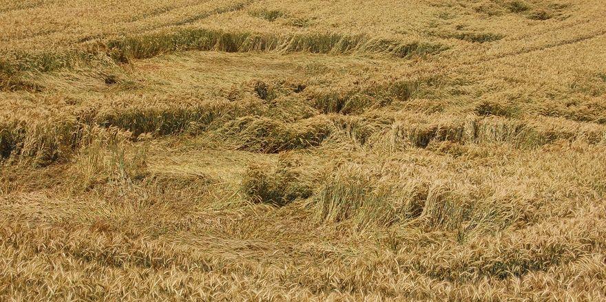Wetter, Vandalen oder Außerirdische – dem Landwirt ist der Kornkreis ein Dorn im Auge – nicht so bei Bäcker Nau