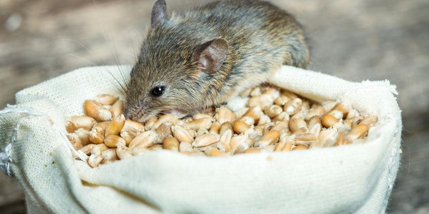 Mit der Kälte steigt die Gefahr, dass Mäuse die Wärme der Backstuben suchen.