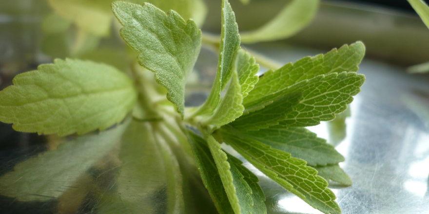 Die in den Blättern gebildeten Steviolglycoside sind der Grundstoff des Süßungsmittels Stevia.