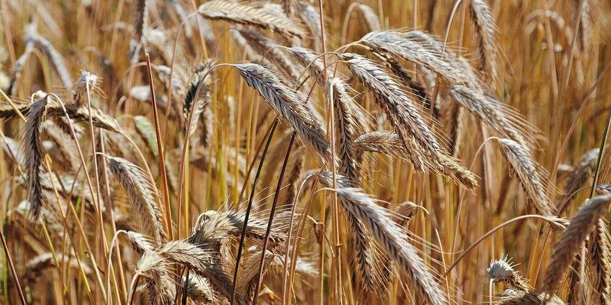 Die Erntemenge für Roggen schätzt der Verband auf Vorjahresniveau.