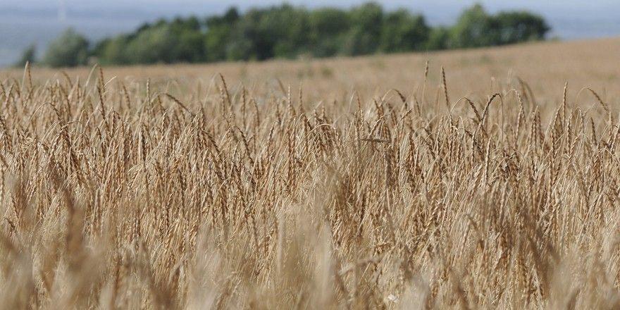 Das Urgetreide Dinkel wird in vielen regionen Deutschlands angebaut.