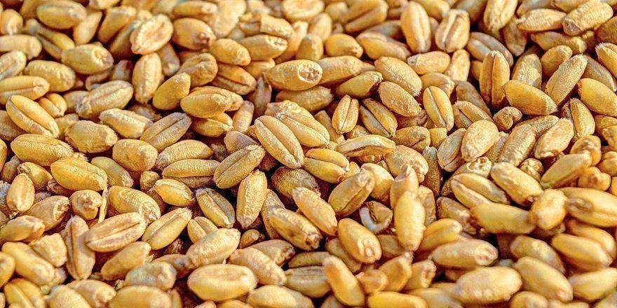 Weizen kann für Menschen mit Zöliakie unverträglich sein – für die meisten jedoch nicht.