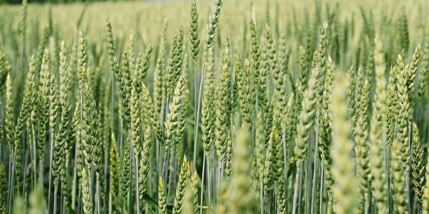 Bei Weizen rechnet der DRV mit deutschlandweit ganz unterschiedlichen Erträgen.