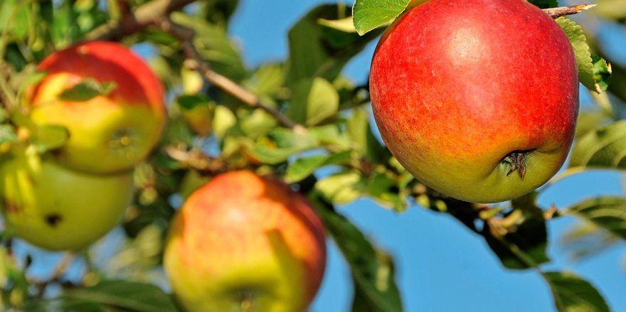 Keine Rekorde bei Äpfeln, aber auch hier sind die Bauern zufrieden.