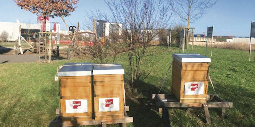 Bienenvölker sterben immer stärker aus.