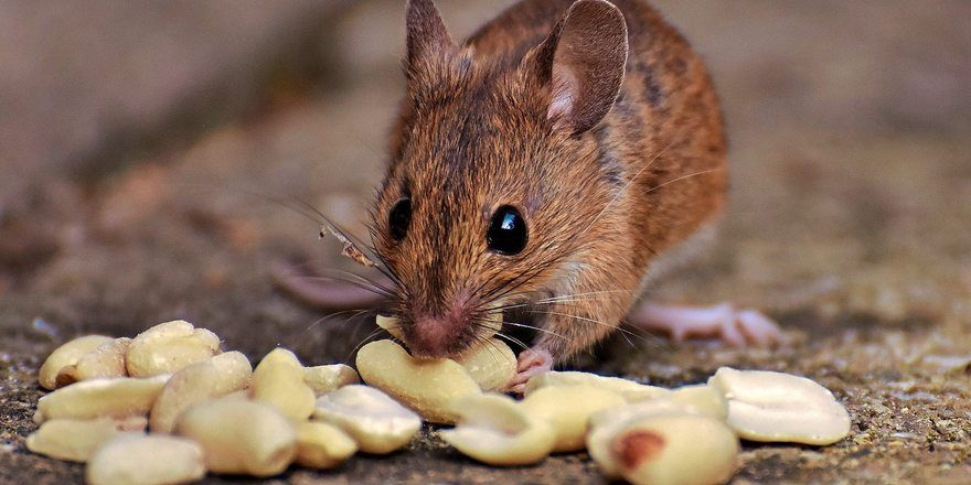 Eine Frankfurter Bäckerei musste wegen Mäusebefall schließen.