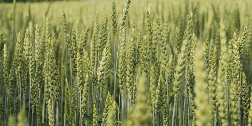 Weizenfeldern sieht niemand das Düngemittel an.