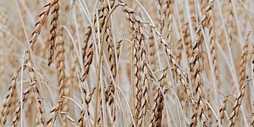 Nach dem Krisenjahr 2018 geht der Europäische Verband des Getreidehandels (Coceral) für 2019 von normalen Erträgen aus.