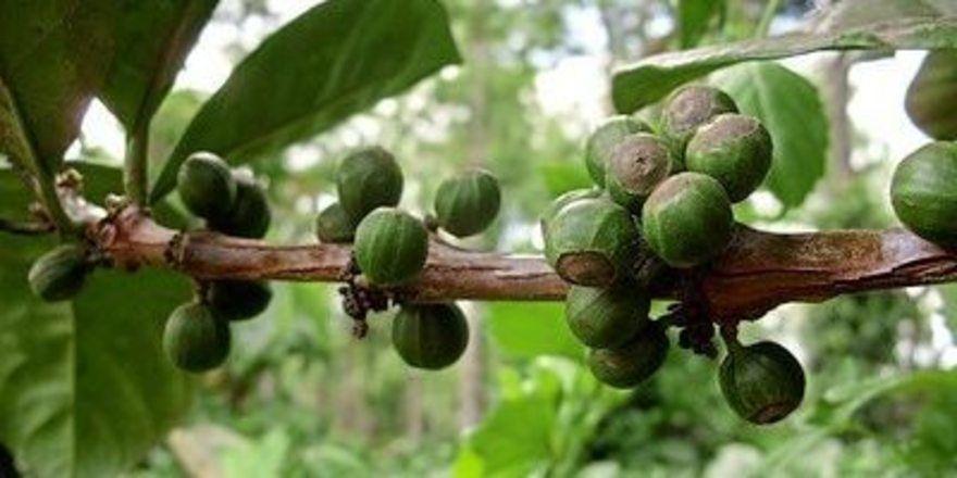 Projekt: In den nächsten Jahren soll eine neue Kaffee-Region in Äthiopien nachhaltig entwickelt werden.