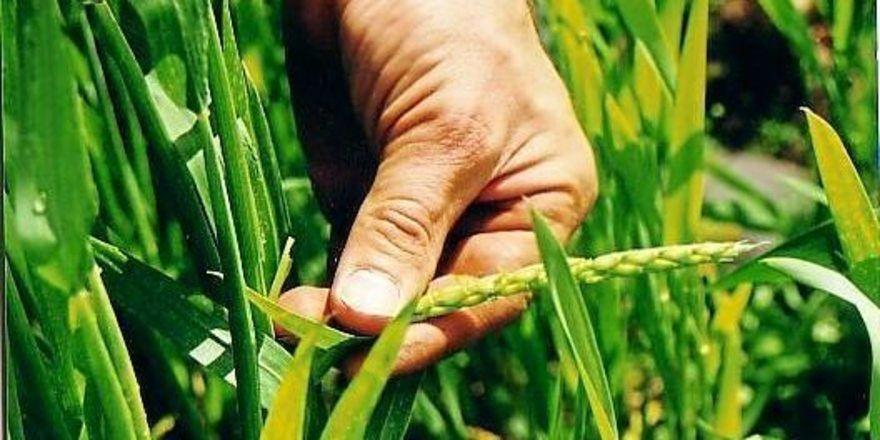 Bio-Dinkel: Immer Bauern bewirtschaften ihre Flächen ökologisch.