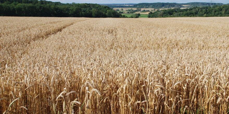 Wie es aussieht, kann diese Jahr in Deutschland mit einer vergleichsweise guten Weizenernte gerechnet werden.