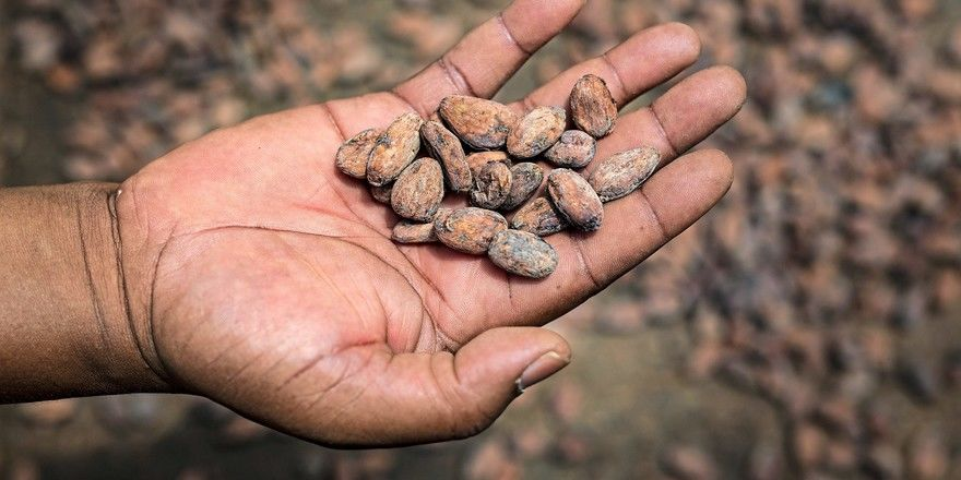 Aktuell wird bei Kakao eine gute Ernte erwartet.