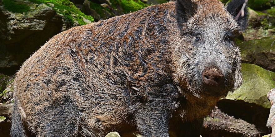 Wildschwein verirrt sich aus Wald in eine Bäckerei.