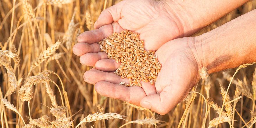 Die Preise für Weizen sollen stabil bleiben.