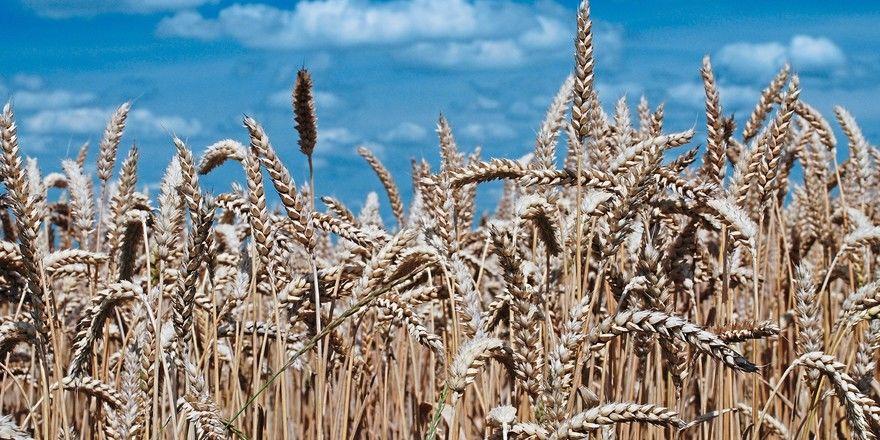 Weizen steht in diesem Jahr wohl in großer Menge zur Verfügung.