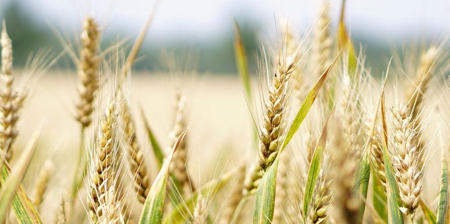 Genetische Vielfalt soll die Stressresistenz von Weizen steigern.