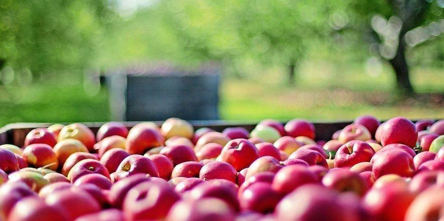 Die Apfelernte beginnt durch Corona unter schwierigen Bedingungen.