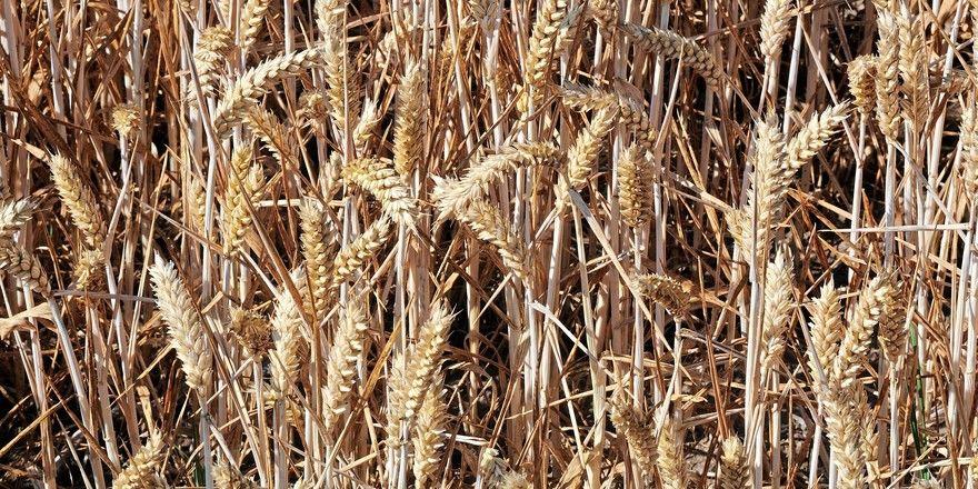 Die Proteingehalte bei Weizen sollen bei der aktuellen Ernte etwas niedriger sein als 2019.