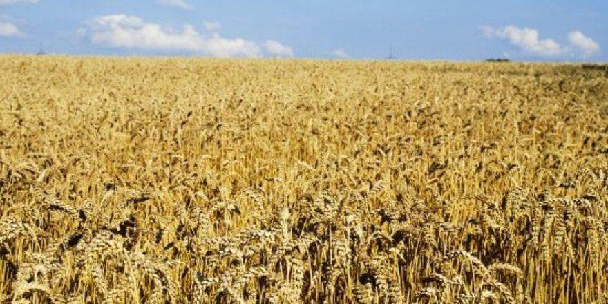 """Ob die geplanten Mindestabstände ausreichen, um den gentechnikfreien Anbau von Agrar-Produkten zu gewährleisten, bezweifeln Kritiker der Novelle. <tbs Name=""""foto"""" Content=""""*un""""/>Foto Kauffmann"""
