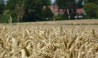 Höhere Getreidepreise tragen zum Umsatzplus bei der VK Mühlen AG bei.