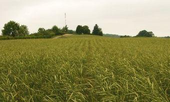 Dinkel ist für Biobauern von Bedeutung, aber auch für Bäcker.