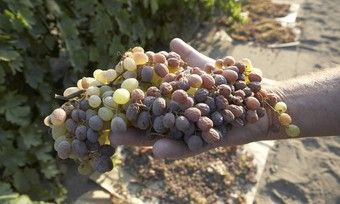 Die kalifornischen Rosinen entwickeln bei der Reifung ein individuelles, ausgewogenes Aroma mit feiner Karamellnote.