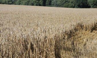 Aufgrund der ausgeprägten Trockenheit sind bei Weizen im Vergleich zum Vorjahr wohl Ernteeinbußen zu erwarten.