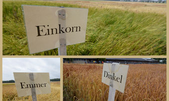 Die Uni hat 20 bis 30 verschiedene Sorten von jeder Getreideart angebaut.